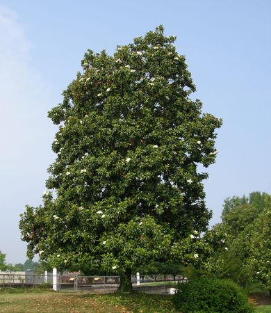 A large magolia tree in a southern city photo