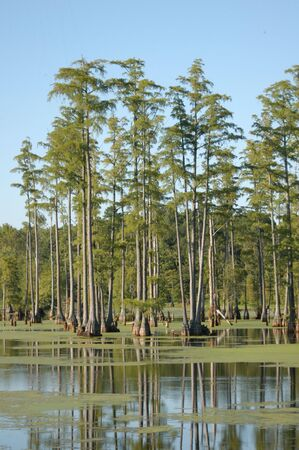 cocaine: Tall ine trees in the swamp Stock Photo