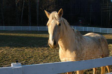White horse on a farm Reklamní fotografie