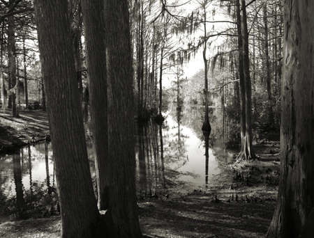 swampy: Trees along the shore of a swampy lake. Shown in black and white Stock Photo