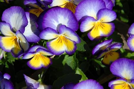 Purple pansies in a garden in full bloom