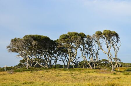 ノースカロライナ州の北海岸に沿って木を吹き風 写真素材