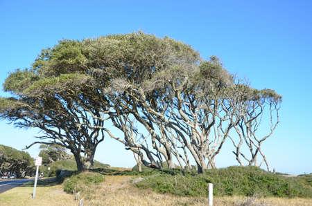 wind blown: Wind blown tree on the coast of North Carolina