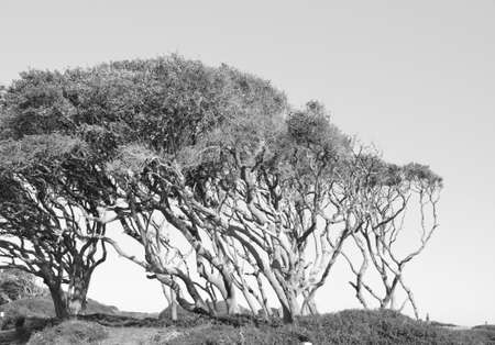 wind blown: Wind blown tree on the coast of North Carolina shown in black and white