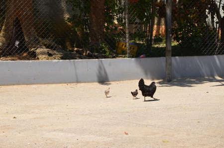 school yard: Chickens in the school yard walking around. Stock Photo