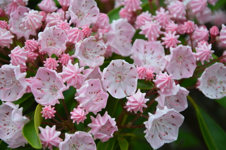 laurel mountain: Mountain laurel in full bloom along the trail in north Carolina Stock Photo