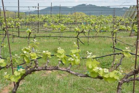포도 나무는 일년 중 봄철 초기에 아직 과일이 아닙니다.