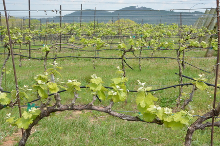 grape vines in early bloom during the spring of the year,not fruit yet.