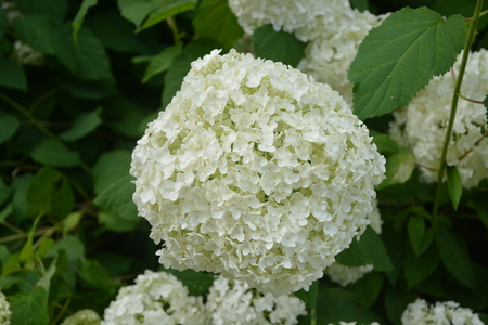 Large white snowball flower in full bloom stock photo picture and large white snowball flower in full bloom stock photo picture and royalty free image image 83495369 mightylinksfo