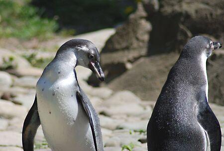 waddling: Penguins Stock Photo