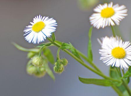 curative: daisies