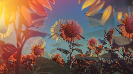 Sunflowers garden multiple exposure. Sunflowers have abundant health benefits. Sunflower oil 写真素材