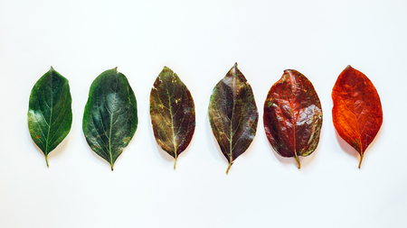 Creative concept of development and growth. The beginning and the end. Colorful leaves in row on white background, top view