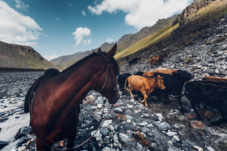 Horses wading in mountain river. Pasture. The concept of healthy lifestyle and environmentally friendly products