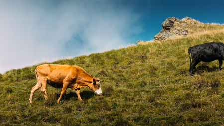 Cows graze in a pasture in the mountains. The concept of modern agriculture and organic products