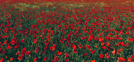 Field of poppies. Scenic natural design