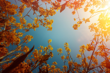Yellow wild flowers under blue sky, low angle. Countryside spring concept