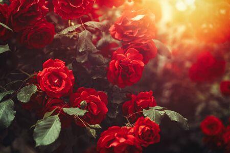 Red Rose Bush Growing In Garden with Sunny Light. Postcard Banner Background Standard-Bild