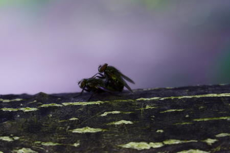 Flies make love on a tree branch. Insects reproduce