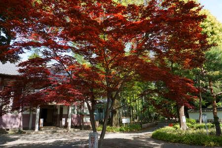 Ashikaga, Tochigi / Japan April 29, 2019: Ashikaga Gakko is Japan's oldest academic institution. Garden, red maple