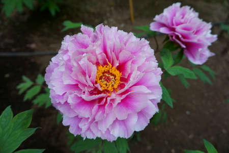 Delicate peony flower. Peonies on the flower bed