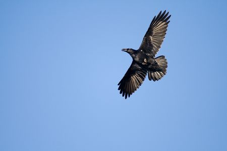 black crow in sweeping sunny afternoon