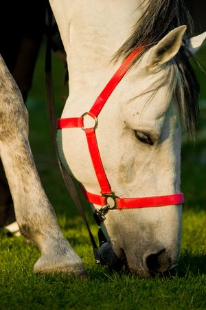 A WHITE horse eating grass in a meadow, its head down. photo