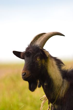 billygoat: grazing goat in sunny summer day