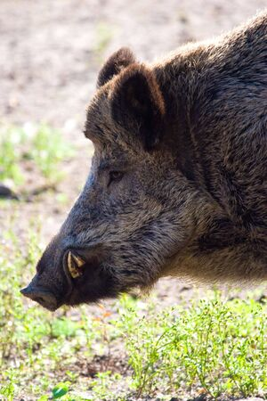 wild boar grazing on pasture on a sunny day photo