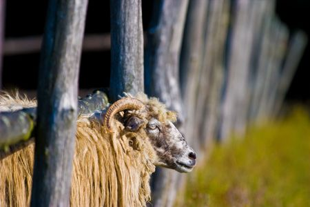 sheep grazing on pasture on a sunny day photo