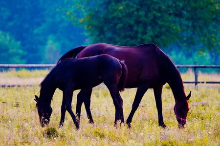 brown horses eating grass in a meadow, its head down. photo