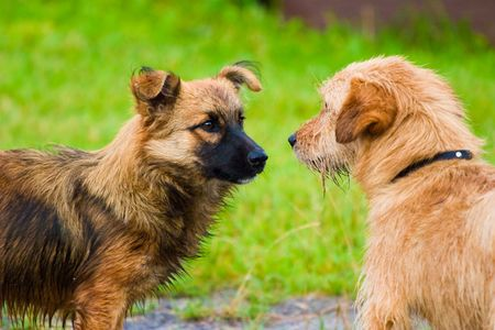 labrador teeth: dogs without names walking on green grass Stock Photo