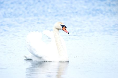 Wild swan floating among the reeds in a small pond photo