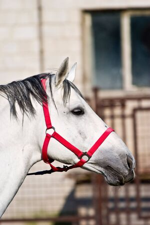white horse on yard, its head up. photo