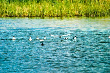 Flighting wild birds on blue water samall lake photo