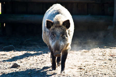 Ugly looking boar searching for bulbs and tubers to eat photo