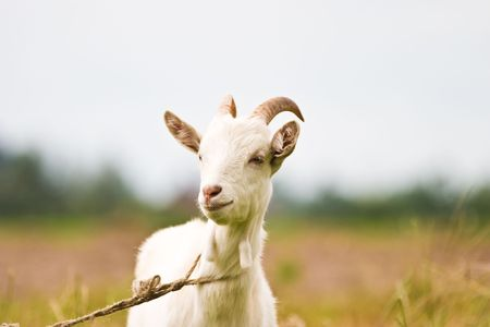 goat cheese: goat standing on summer pasture with yellow flowers and green grass