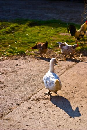 Image shows duck searching for food, duck series Stock Photo - 6881069