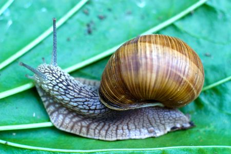 snail is climbing up, image from nature series: snail on leaf