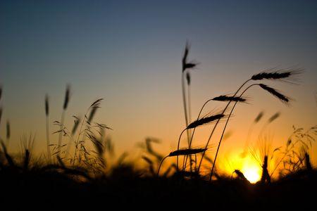 Green Frühling Körner, Nahaufnahme von gelben Weizen-Ohren auf dem Feld