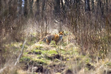 funny fox in forest in sunny december day photo