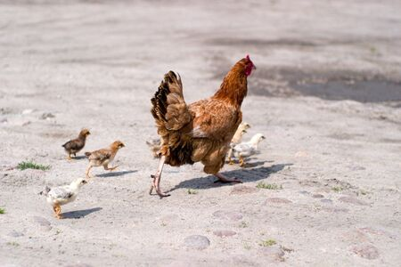 Image shows chicken searching for food, chicken series photo