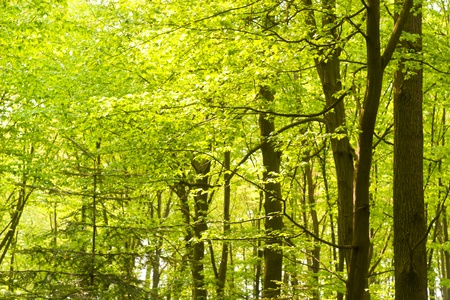 spring landscape of young grey forest with green trees photo