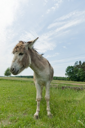 Donkey in a Field in sunny day, animals series photo