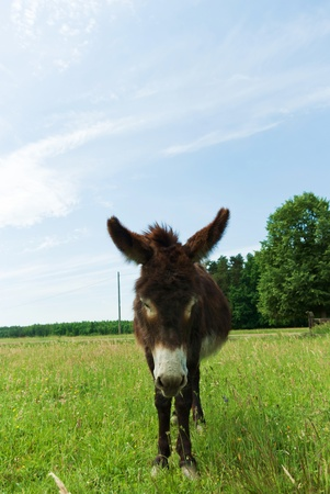 Donkey in a Field in sunny day, animals series Stock Photo - 9725516