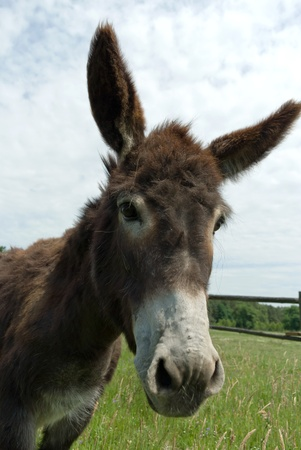 Donkey in a Field in sunny day, animals series Stock Photo - 9873083