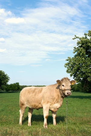 The young black end white cow stands on straw in barn Stock Photo - 9873296