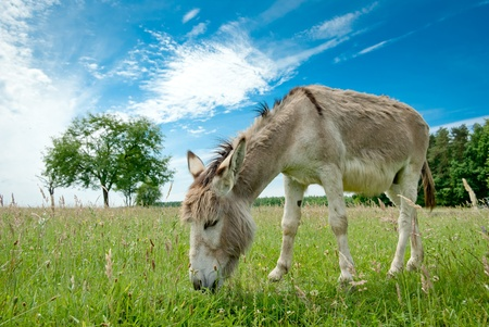 dun: Donkey in a Field in sunny day, animals series