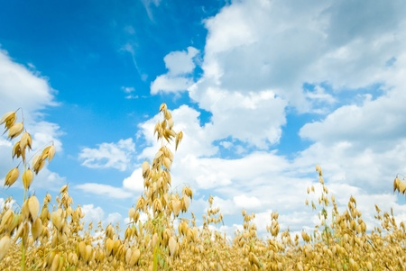 field of golden oats and blue sky, agricultural field   photo