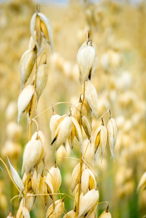 field of golden oats and blue sky, agricultural field Stock Photo - 10174349
